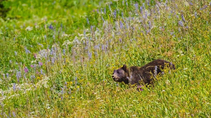 Une fin vers le haut de tir d'un grand ours gris sauvage dans l'herbe fleurissante dans le mouvement images libres de droits