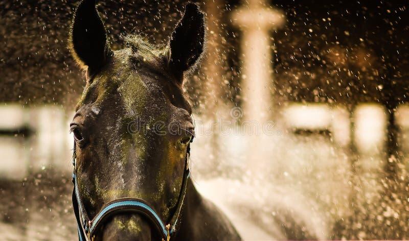 Une fin vers le haut de tir d'un visage du ` s de cheval avec l'éclaboussure de l'eau photo stock