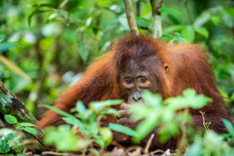 Une fin vers le haut du portrait du jeune orang-outan de Bornean photos libres de droits