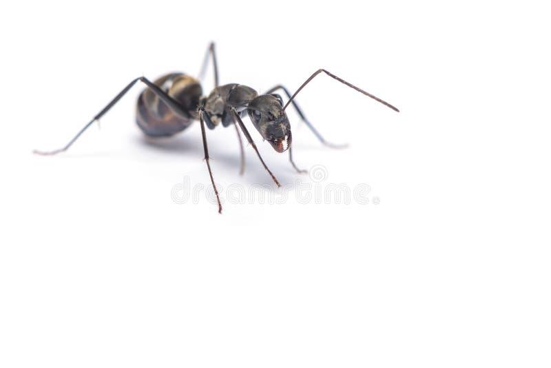 Une fin vers le haut du tir de la fourmi de charpentier d'isolement sur le fond blanc photographie stock libre de droits
