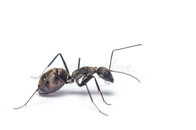 Une fin vers le haut du tir de la fourmi de charpentier d'isolement sur le fond blanc photos stock
