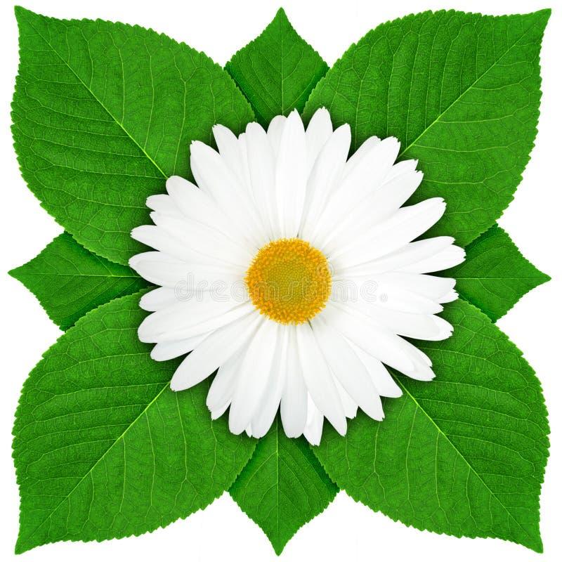 Une fleur blanche avec la lame verte image stock