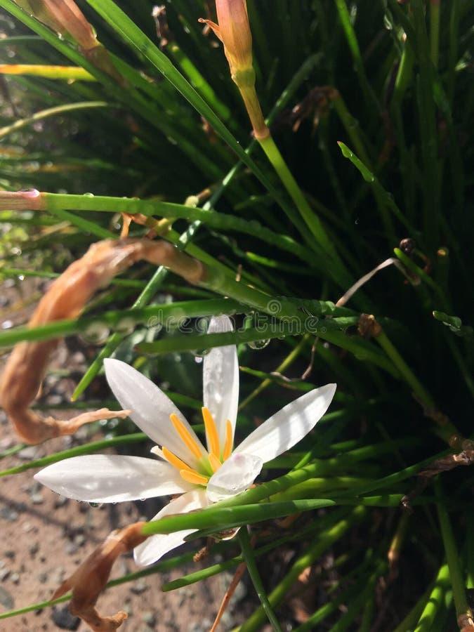 Une fleur blanche croquante au soleil images libres de droits