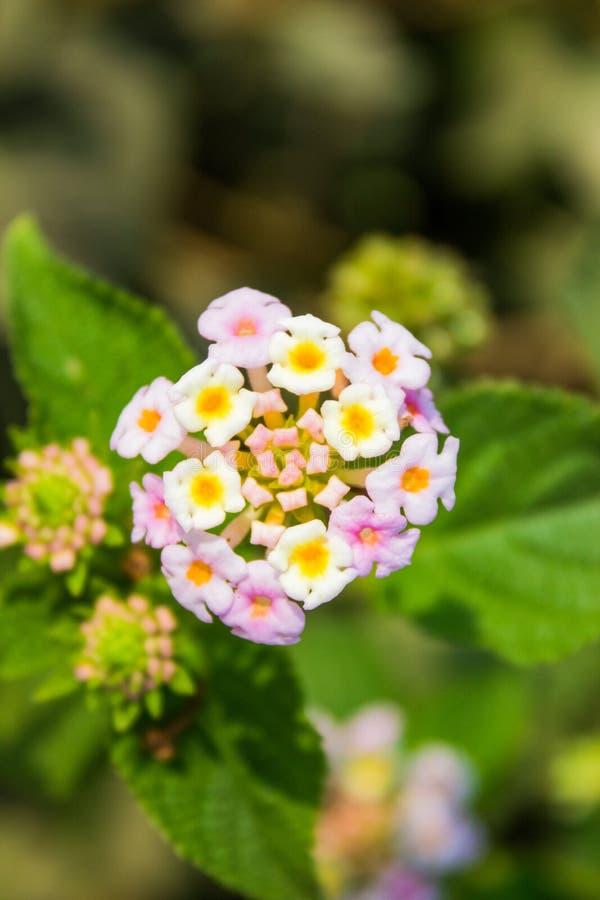 Une fleur blanche indienne entièrement déployée de Lantana image stock