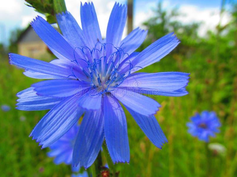 Une fleur bleu-foncé de champ photos libres de droits