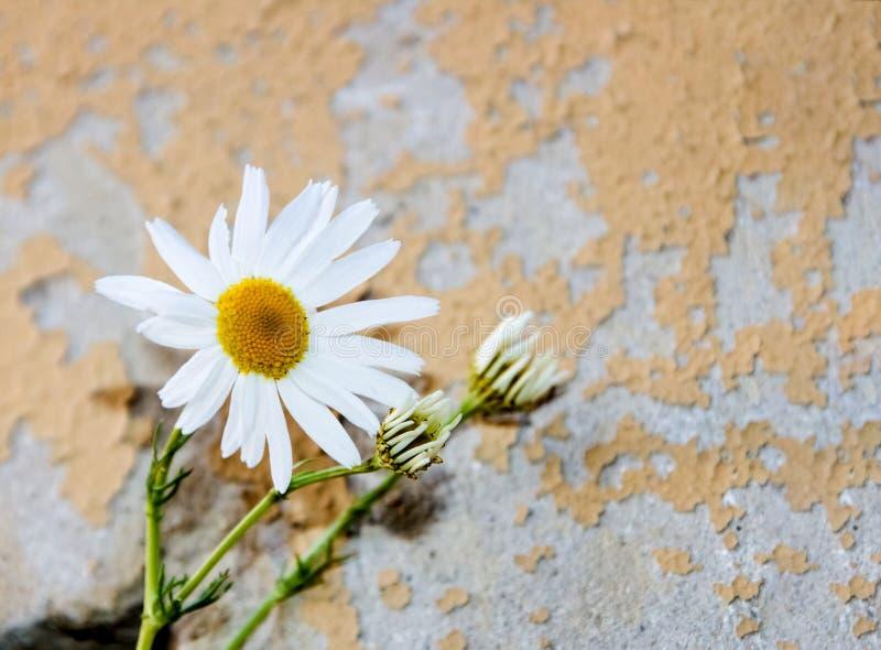 Une fleur d'une camomille sur une tige sur le fond d'un vieux mur images libres de droits