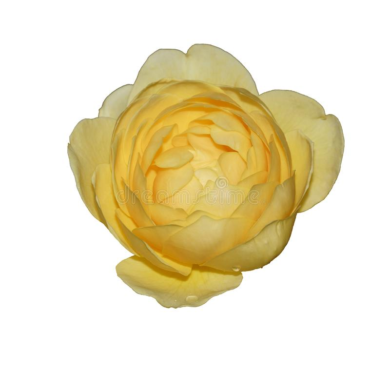 Une fleur d'une rose jaune images libres de droits