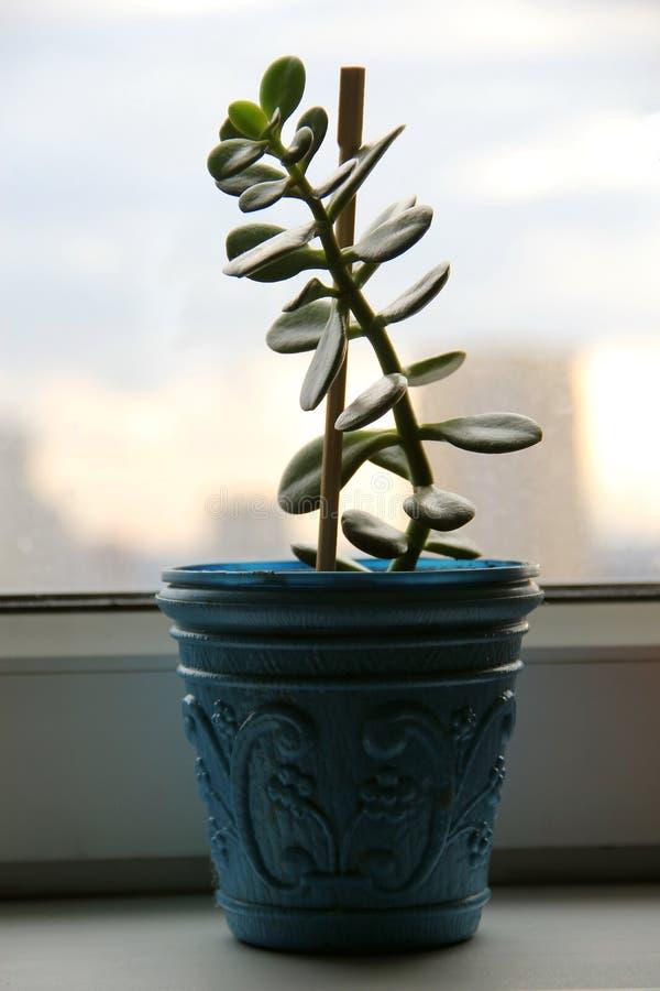 Une fleur dans un pot Arbre d'argent images stock