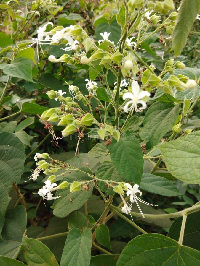 Une fleur de beau dans le malappuram de l'Inde Kerala photographie stock libre de droits