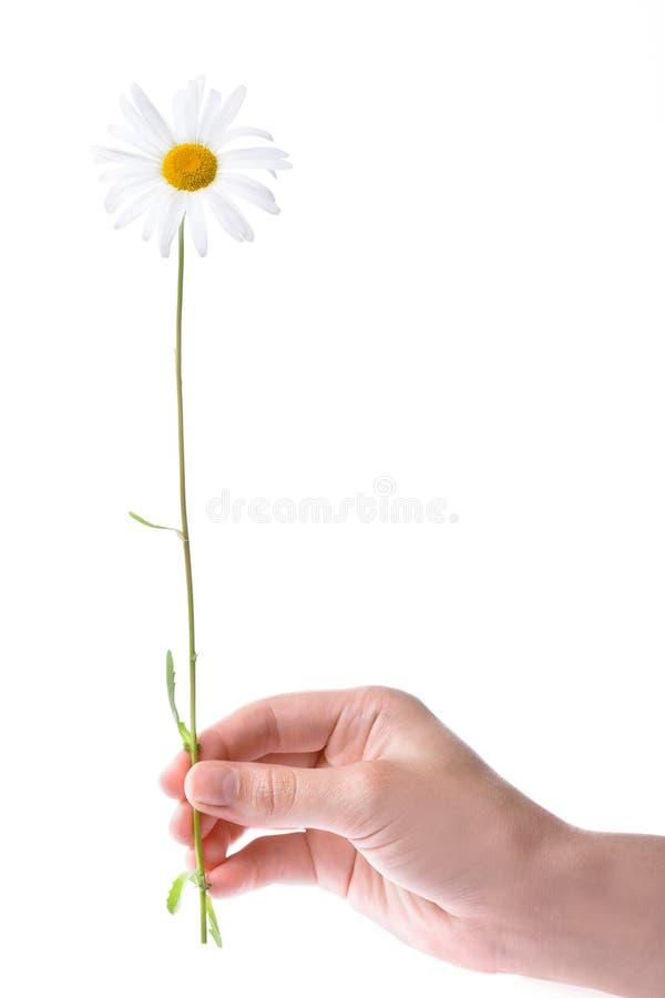 Une fleur de camomille de fixation de main de femmes images libres de droits
