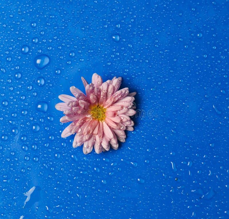 Une fleur de chrysanthème avec les pétales roses dans les gouttes de l'eau sur un fond bleu photos libres de droits
