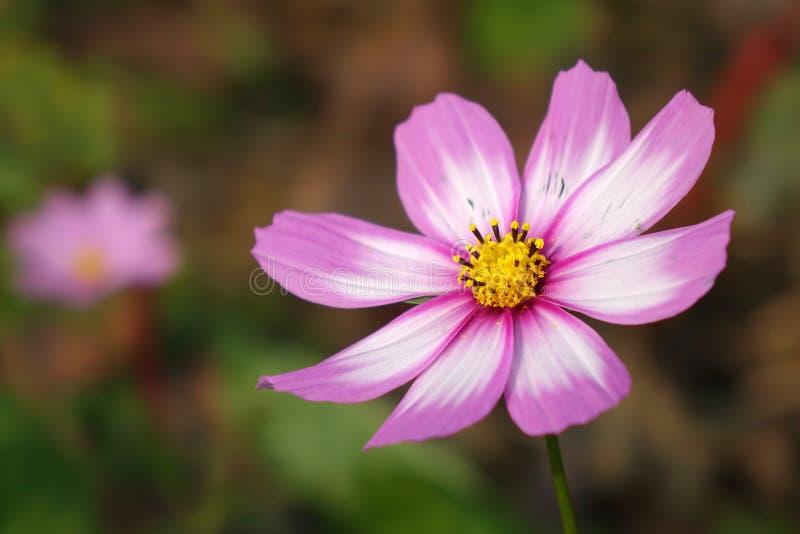 Une fleur de coreopsis photographie stock libre de droits