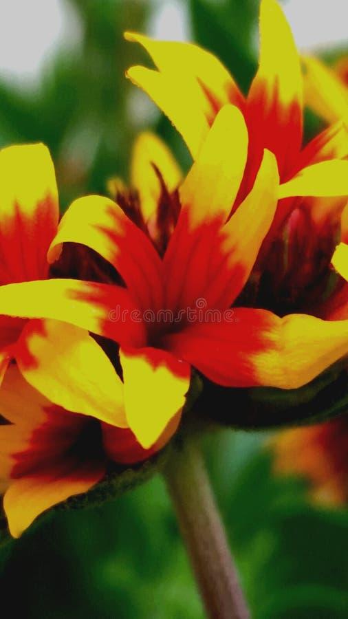 Une fleur de couleurs mélangées image libre de droits