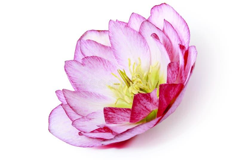 Une fleur de hellebore de rose et blanc ou des orientalis de rose et blancs de helleborus sur le blanc images libres de droits