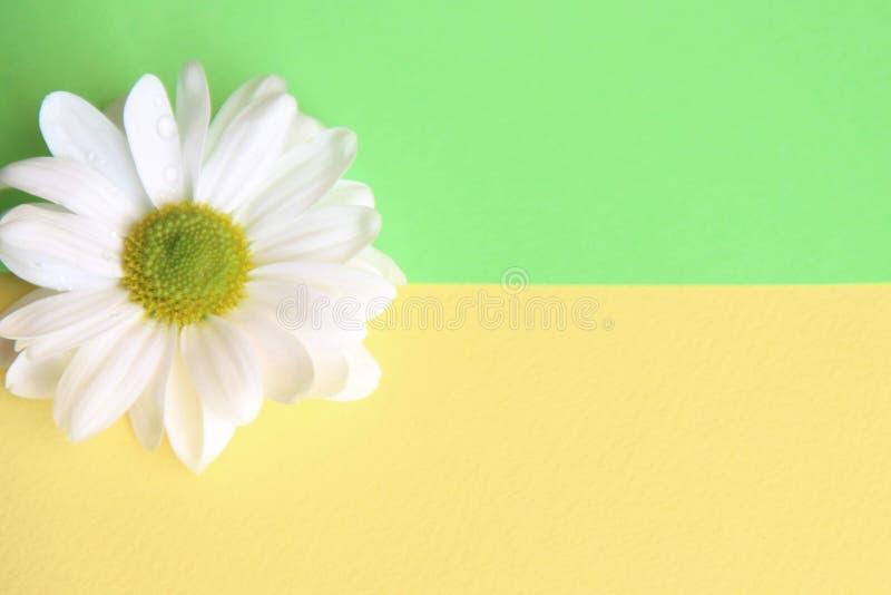 Une fleur de marguerite blanche laissée sur le fond jaune et vert, divisé horizontalement photos libres de droits