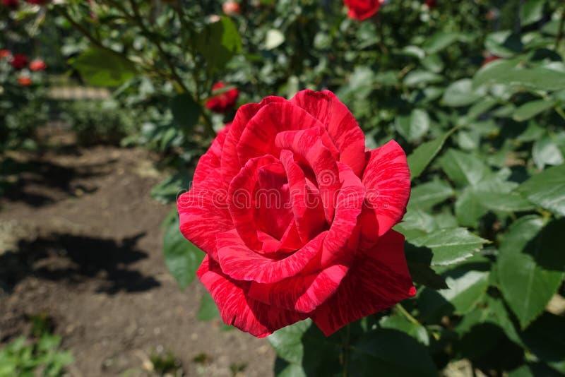 Une fleur de rose rayée rouge image libre de droits