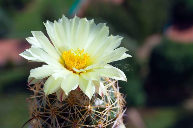 Une fleur doux-jaune de cactus de ruche de Coryphantha photo stock