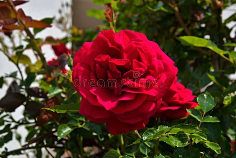 Une fleur du rouge s'est levée dans le jardin images libres de droits