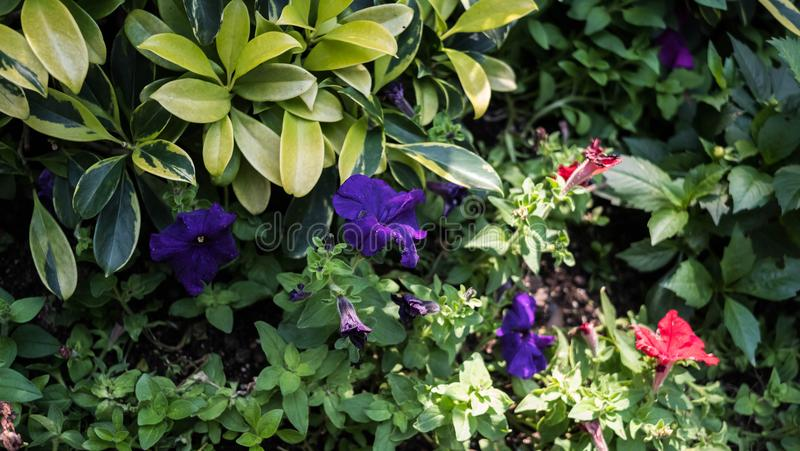 Une fleur générique de couleur de lavande dans un jardin photo stock