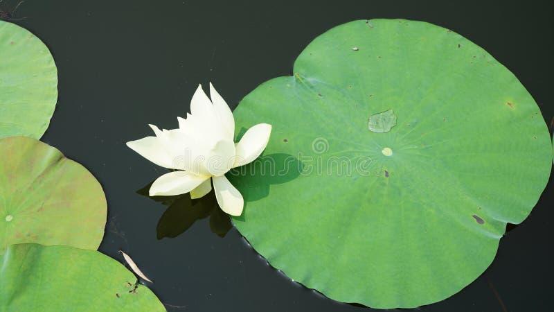 Une fleur isolée de lis flotte dans l'étang photographie stock