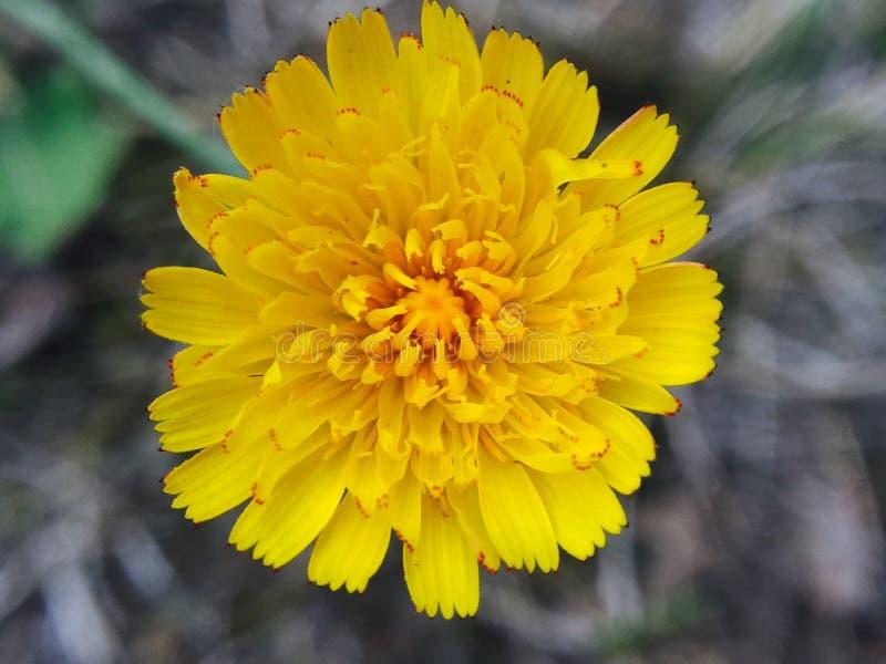 une fleur jaune photos stock