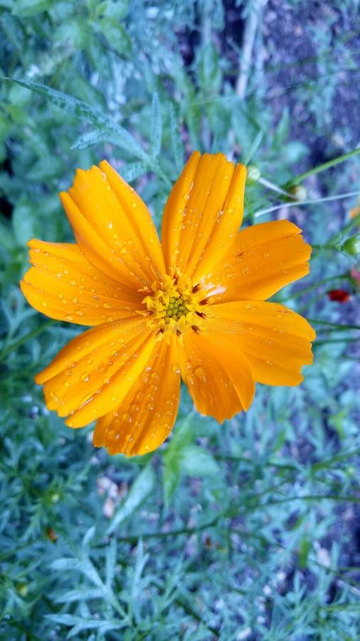 Une fleur jaune ainsi beauté et stupéfier images libres de droits