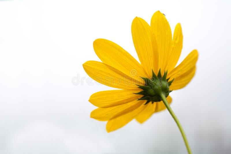 Une fleur jaune avec le fond de brouillard photo libre de droits