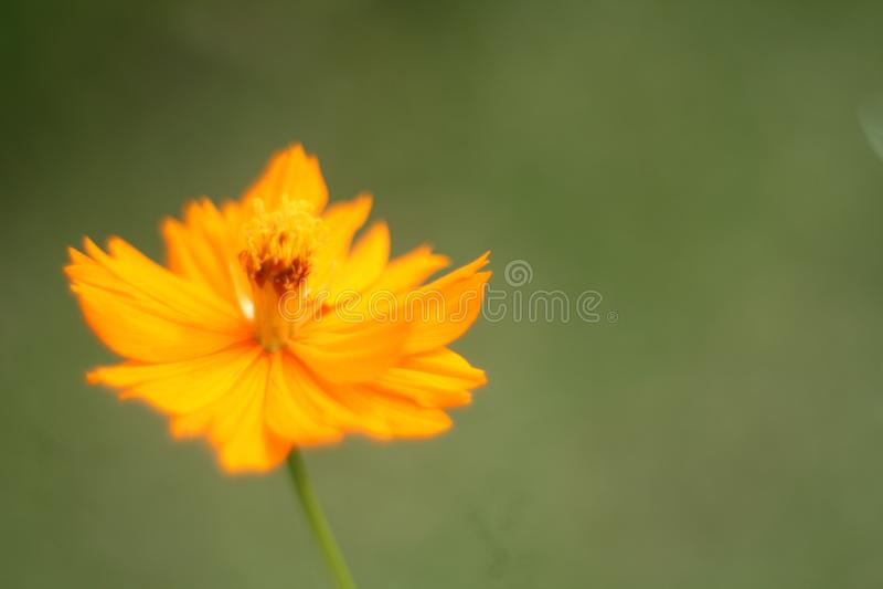 Une fleur jaune renversante de cosmos photos stock