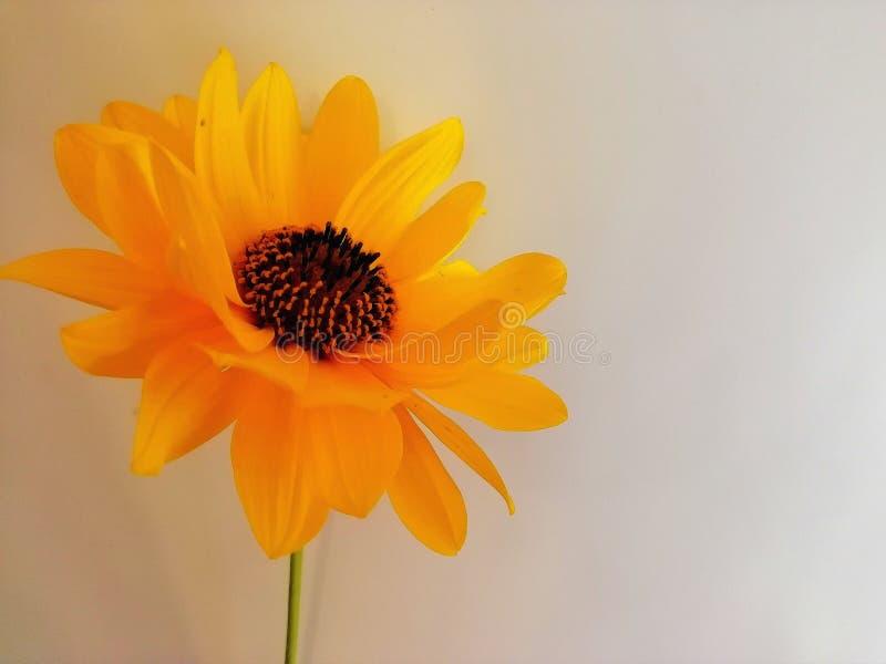 Une fleur orange sur un fond blanc photographie stock libre de droits
