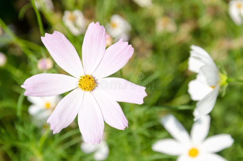 Une fleur pâle-rose de plan rapproché a appelé COSMOS photo libre de droits