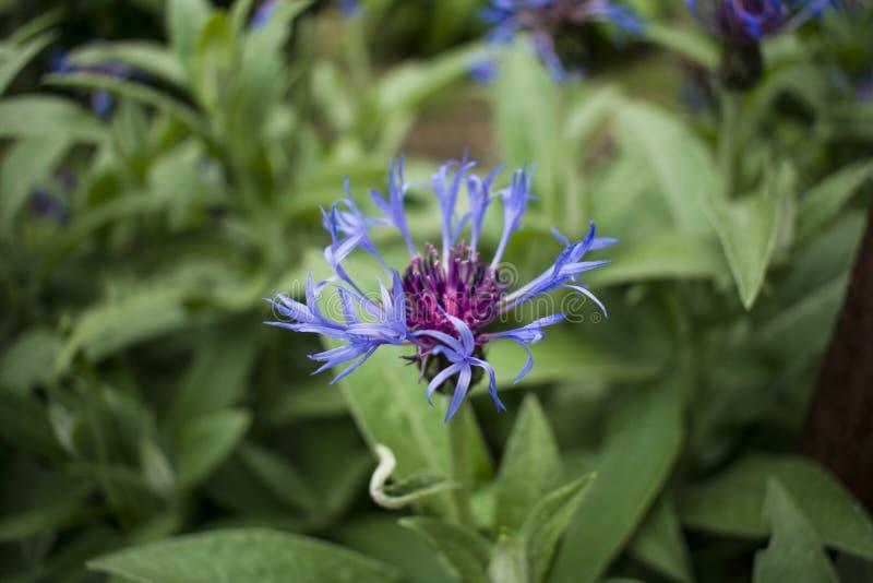 Une fleur peu commune de bleu de jardin Végétation dans le jardin photographie stock