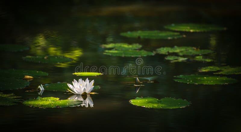 Une fleur pure de nénuphar flottant dans l'étang paisiblement photos libres de droits
