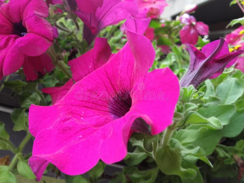 Une fleur rose photographie stock