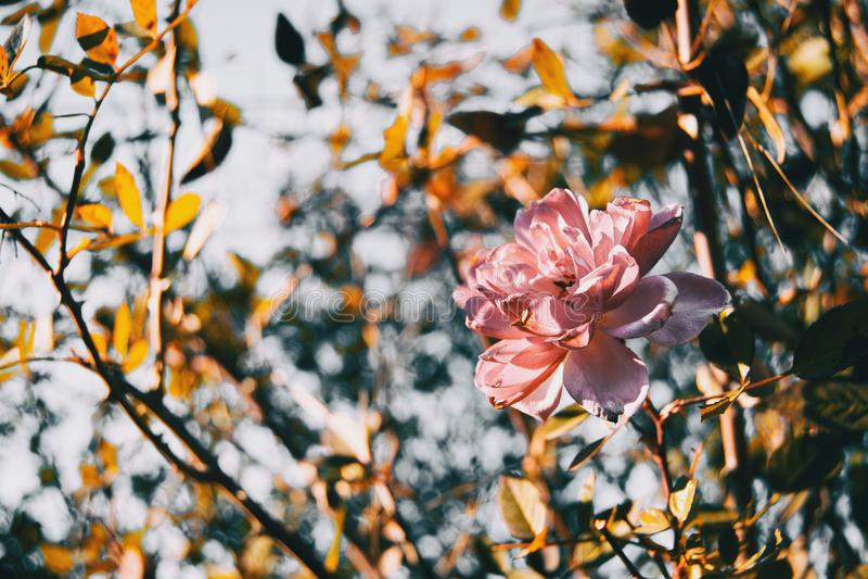 Une fleur rose d'isolement d'une rose image stock