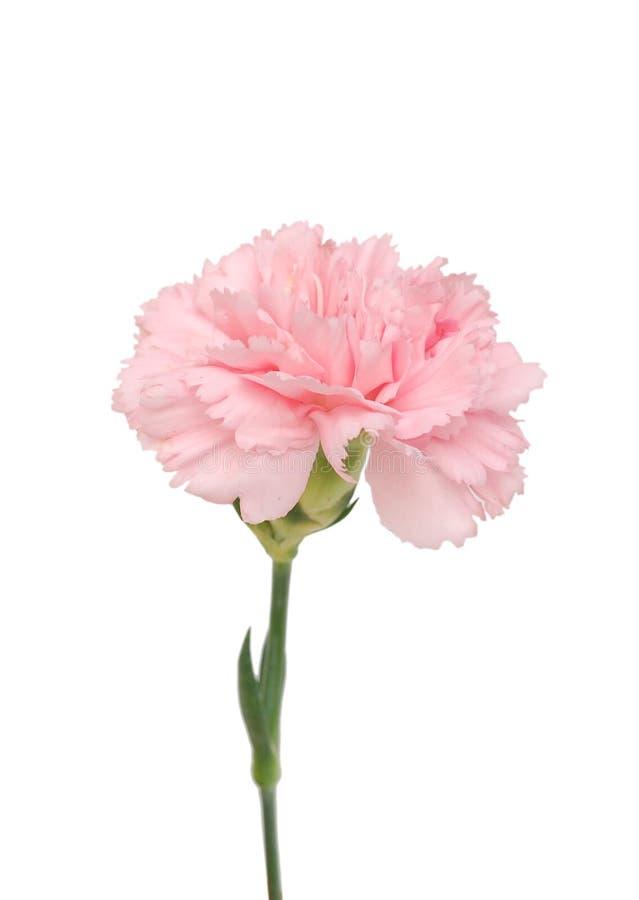Une fleur rose d'oeillet images stock