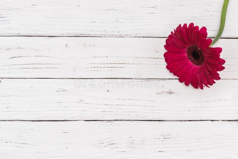 Une fleur rose de gerbera sur le bois blanc avec l'espace de copie image stock