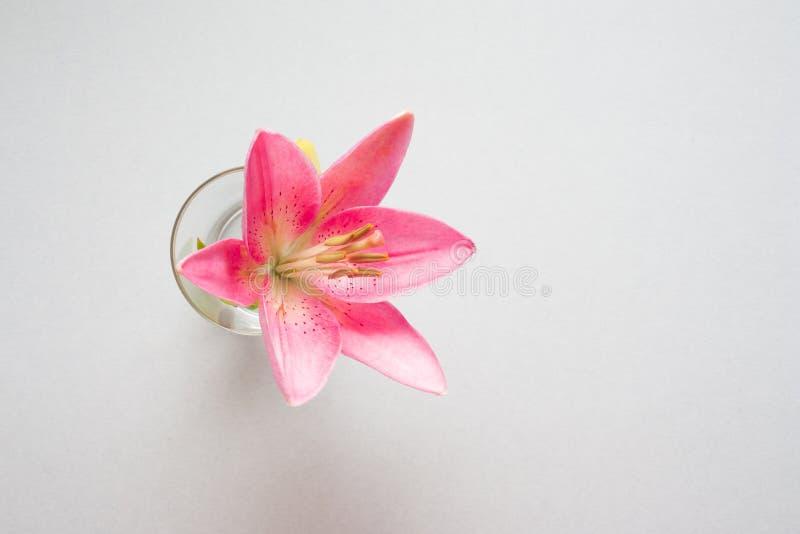 Une fleur rose de lis avec des baisses arrosent dans un verre sur le fond gris image stock