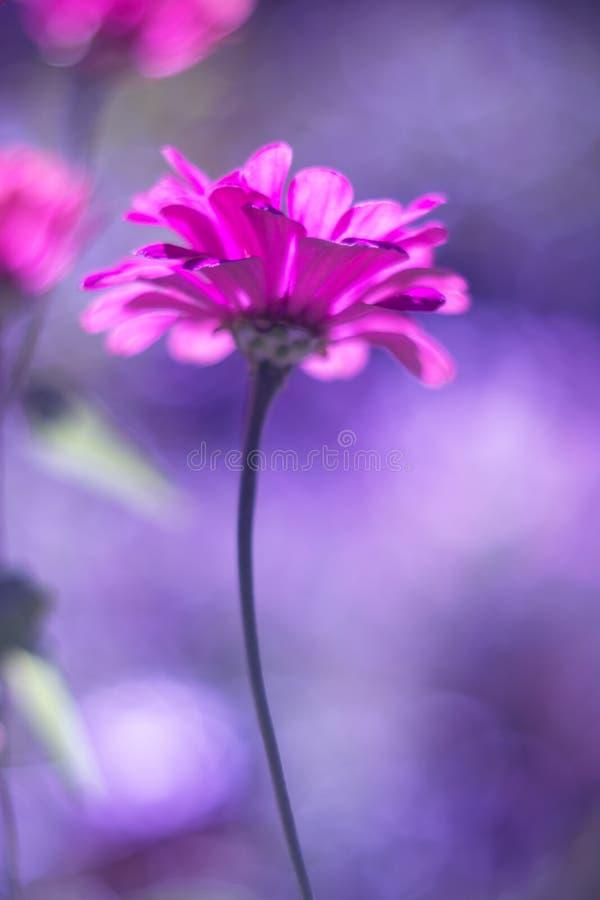 Une fleur rose de zinnia avec le foyer mou sur un fond pourpre Belle image artistique avec la tonalité image stock