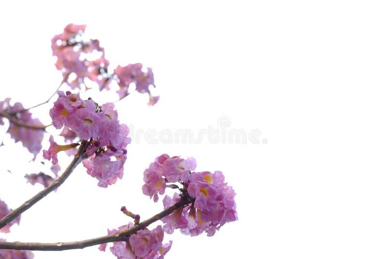 Une fleur rose douce de fleur de trompette de bouquet sur le fond d'isolement blanc photo libre de droits