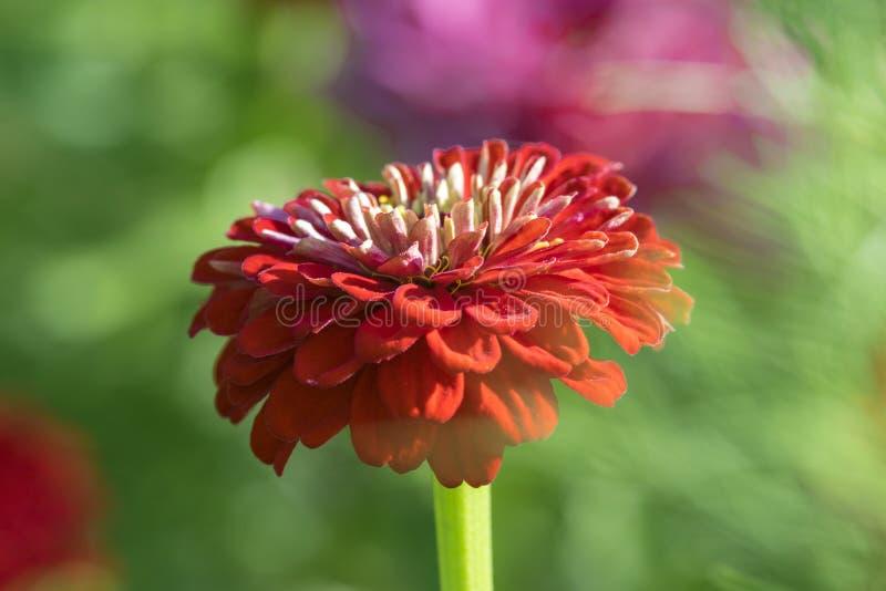 Une fleur rouge images libres de droits