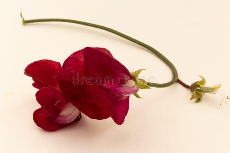 Une fleur rouge de pois doux d'isolement sur un fond blanc images stock