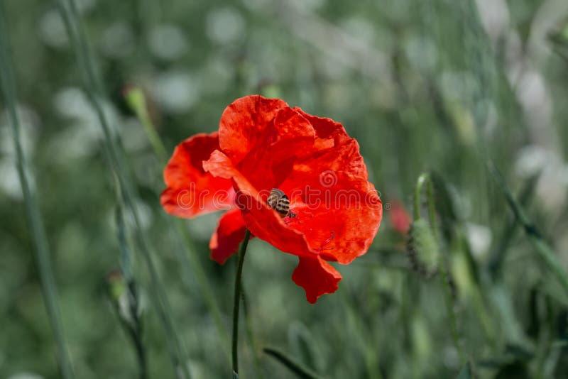 Une fleur rouge sauvage de pavot avec une abeille parmi un champ vert photo libre de droits