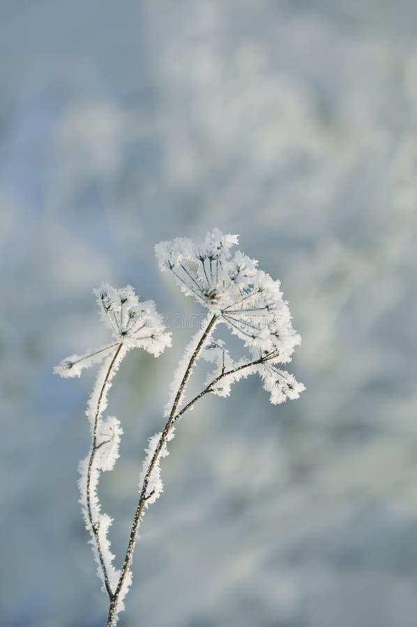 Une fleur sèche très sensible dans les cristaux sensibles blancs de gel Matin givré d'hiver, fond naturel photos libres de droits