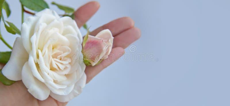 Une fleur sensible d'une rose blanche dans des tons en pastel image stock