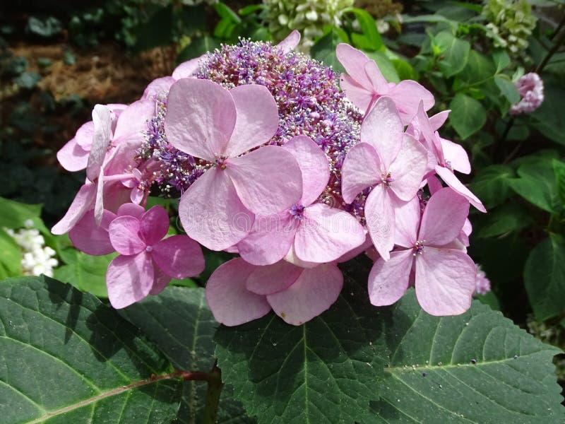 Une fleur simple de Hydrandea pas tout à fait en pleine maturité image libre de droits
