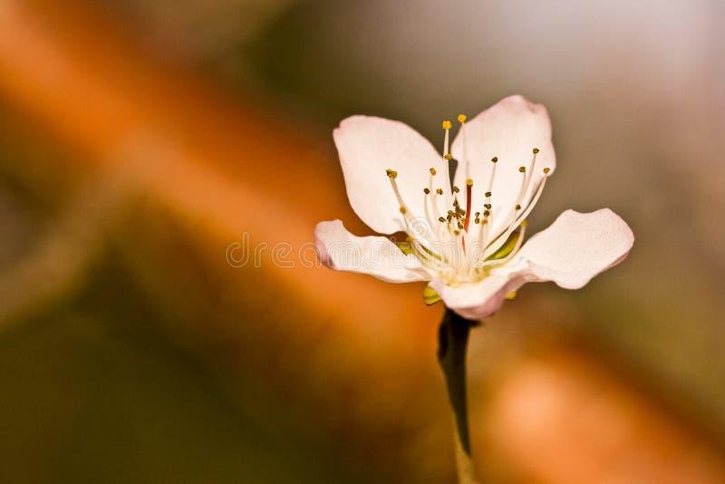 Une fleur simple de pêche avec l'ombre ci-dessous image libre de droits