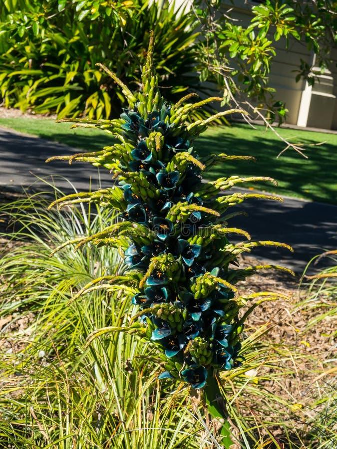 Une floraison de l'aberdarica de lobélie dans la couleur pourpre, ou la lobélie africaine géante dans un printemps au jardin bota images libres de droits
