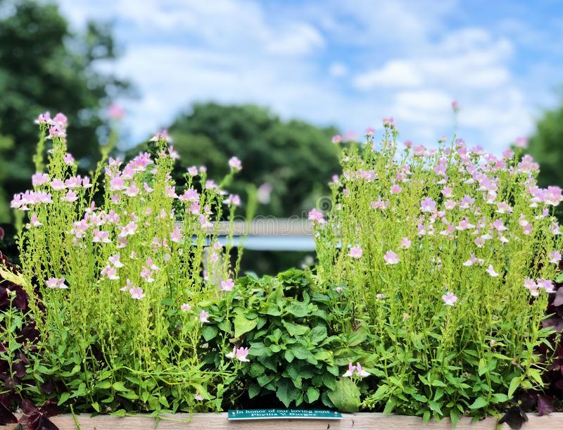 Une floraison mise en pot de fleurs de bonariensis de verveine images libres de droits