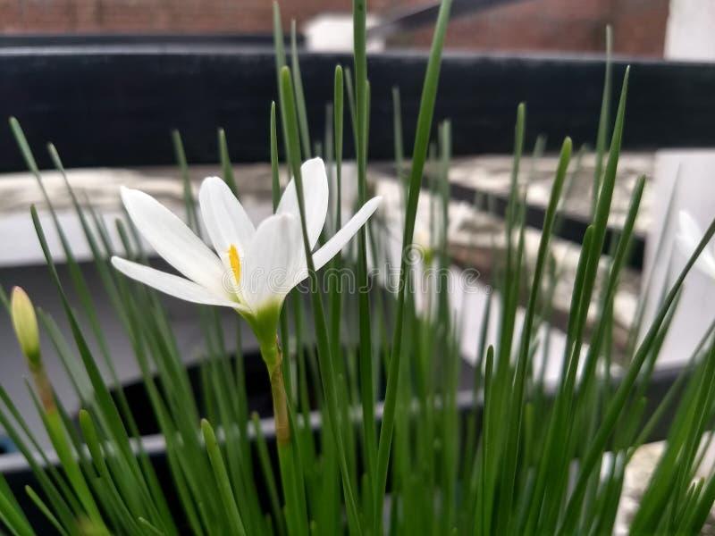 Une flore blanche avec les pollens jaunes au centre photo stock