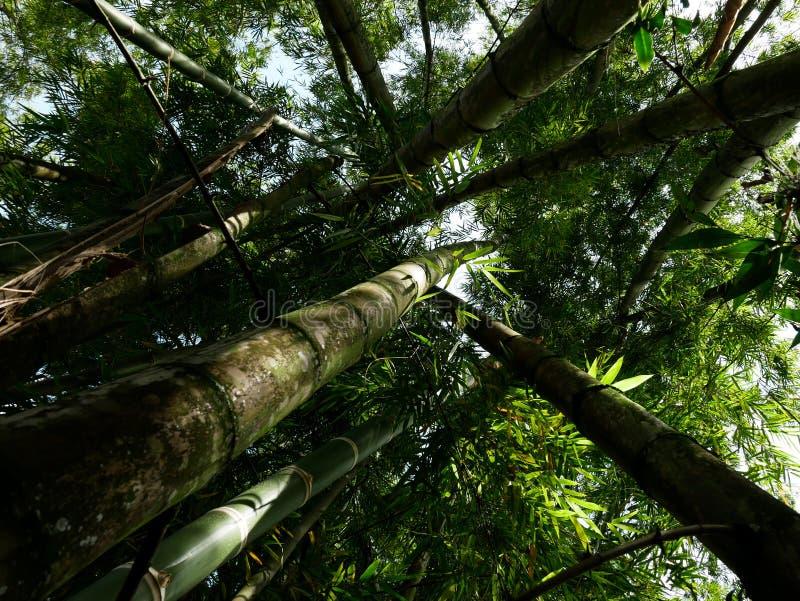Une forêt d'arbre de bambu de la vue d'angle faible montrant un point de disparaition photos libres de droits